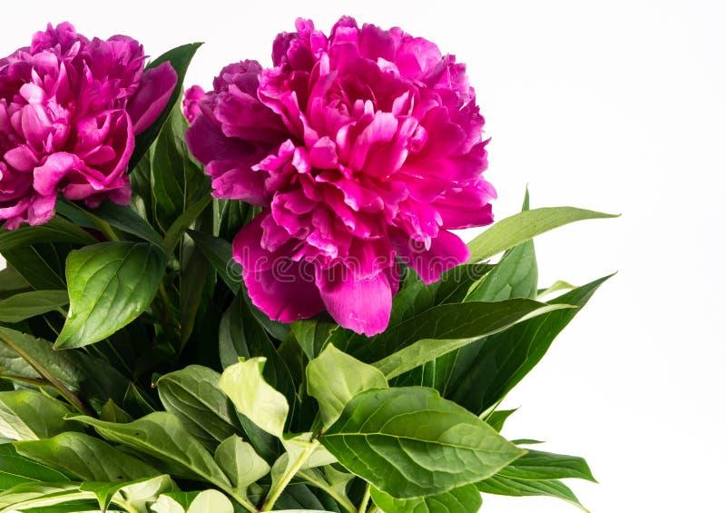 De bloemenpioenen zijn op de lijst stock afbeelding