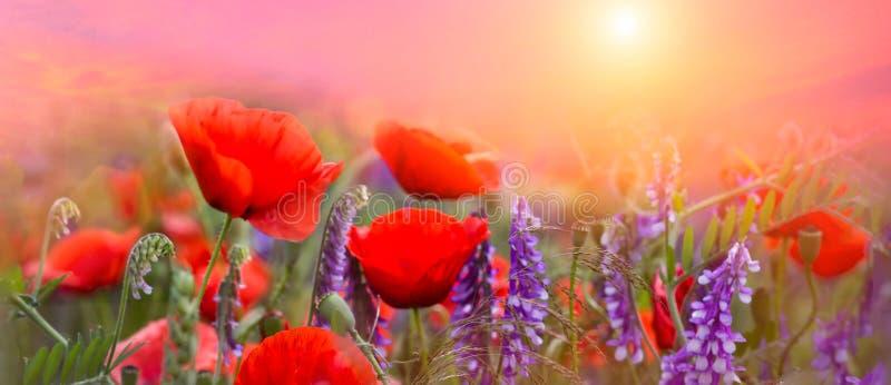 De bloemensleutelbloemen van de lente rode papavers op een mooie roze macro als achtergrond Vage zachte hemel-zonsondergang achte stock afbeelding
