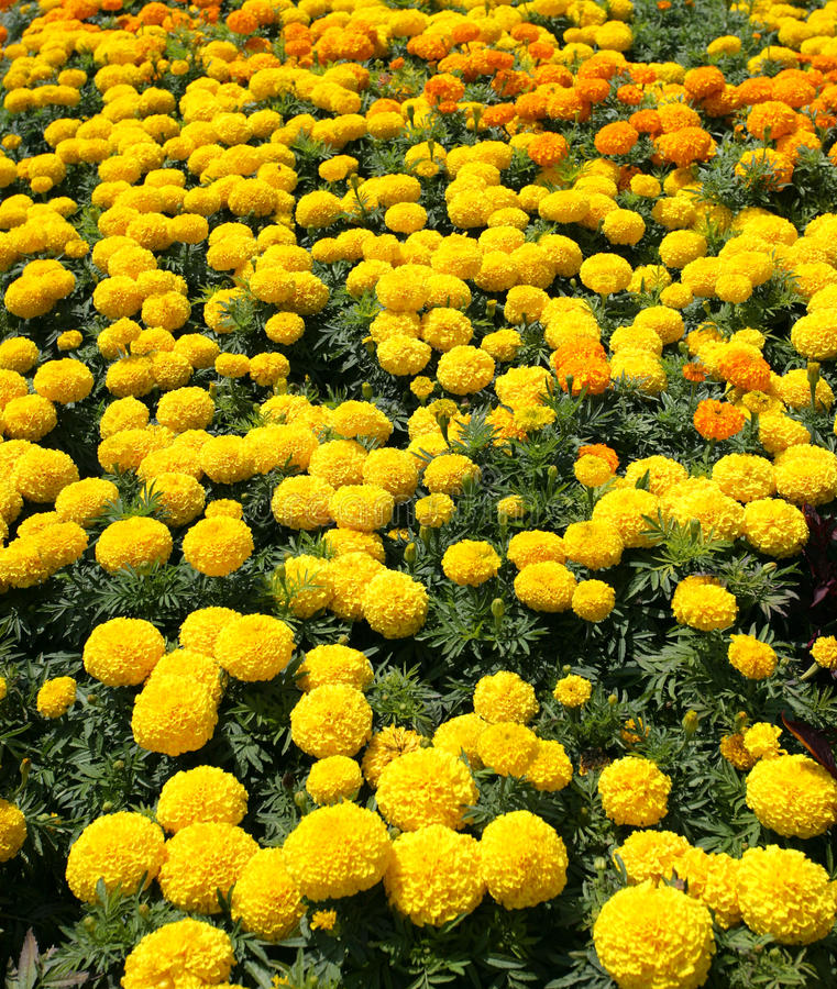 De bloementuin van de dahlia stock afbeeldingen