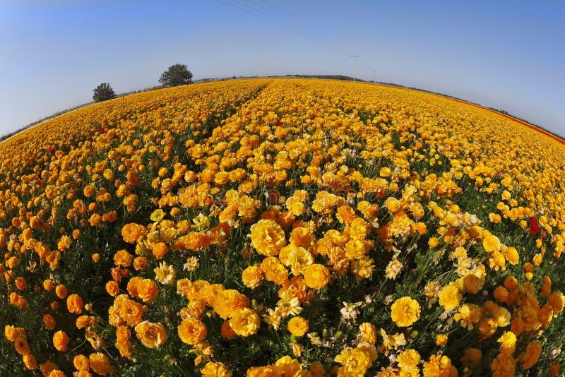 De bloemgebieden. Oranje boterbloemen stock foto's