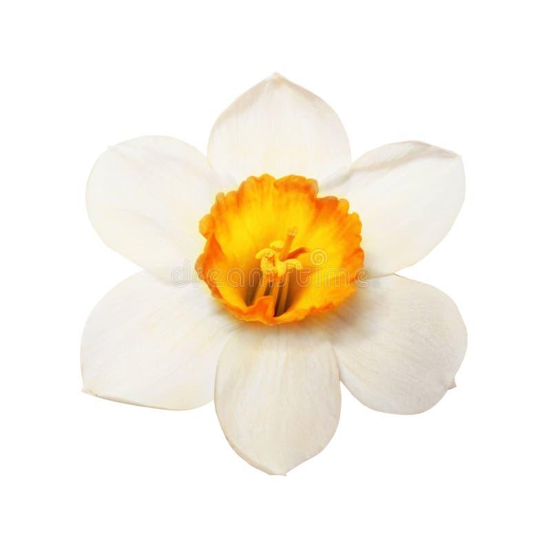 De bloemhoofd van bloem prachtig narcissen stock afbeeldingen