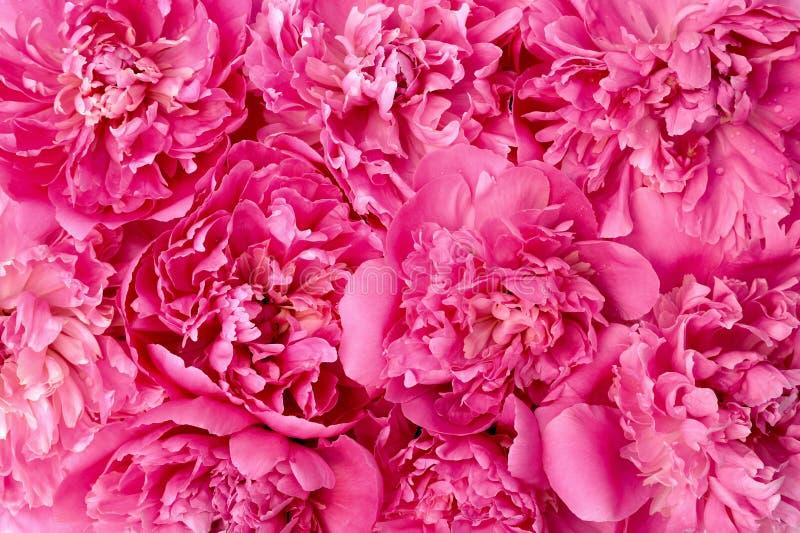 De bloemhoofden van de pioen royalty-vrije stock afbeelding