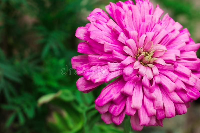 De bloemhoogtepunt van Dalia - mening met zachte groene achtergrond royalty-vrije stock foto's