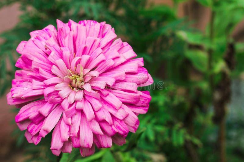 De bloemhoogtepunt van Dalia - mening met zachte groene achtergrond stock foto's