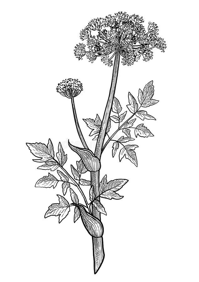 De bloemillustratie van engelwortelarchangelica, tekening, gravure, inkt, lijnkunst, vector royalty-vrije illustratie
