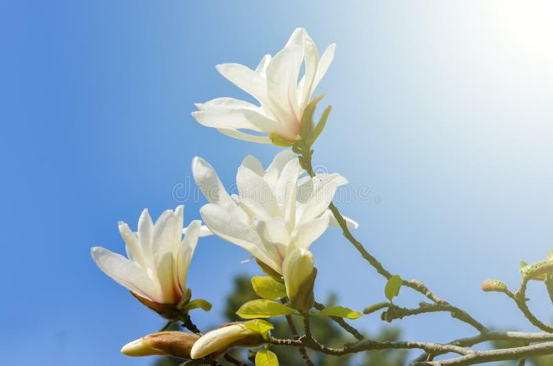 De bloeminstallatie van magnoliakobus royalty-vrije stock afbeelding