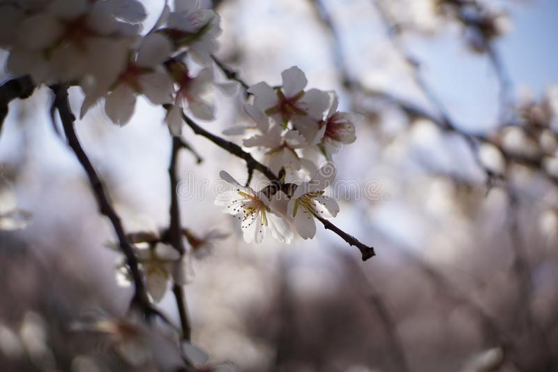 De de bloemlente van de amandelboom in Spanje stock afbeeldingen