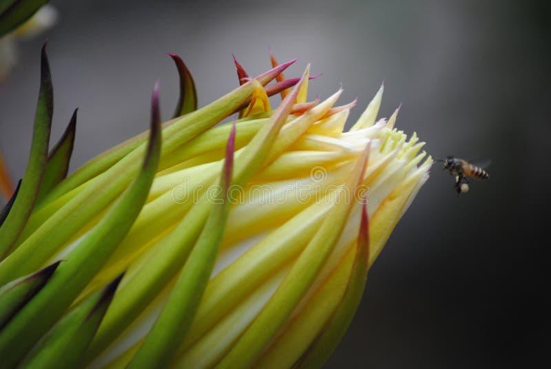 De bloemnectar van het draakfruit stock foto's