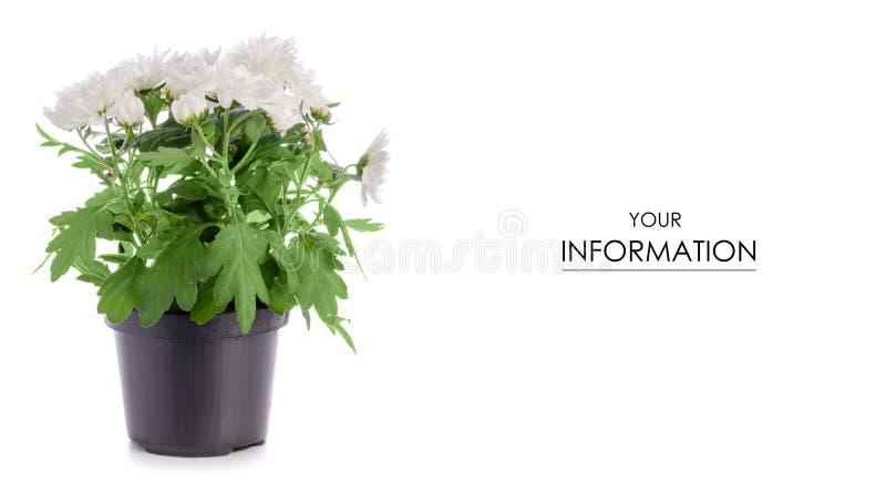 De bloempatroon van de chrysanteninstallatie royalty-vrije stock foto