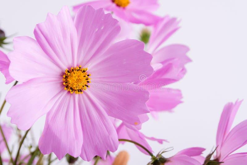 De bloempatroon van de zomer Gevoelige kosmos roze bloemen op wit stock afbeelding