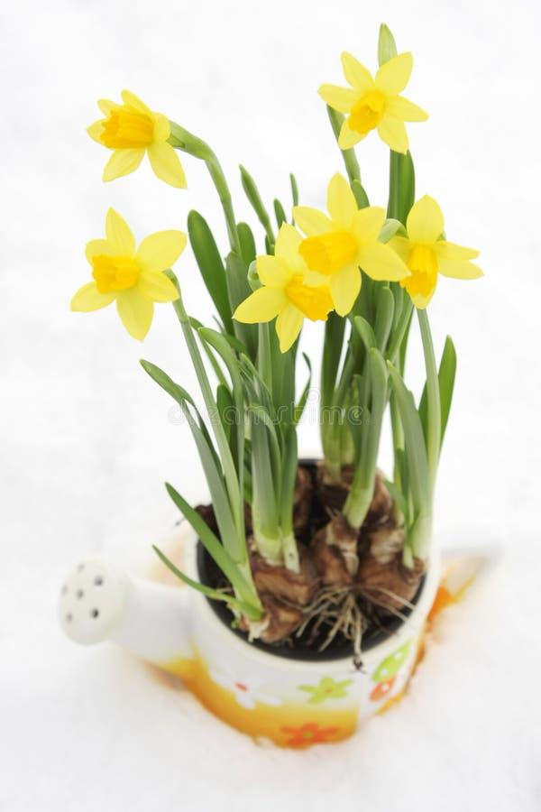 De bloempot van de gele narcis in sneeuw royalty-vrije stock afbeelding