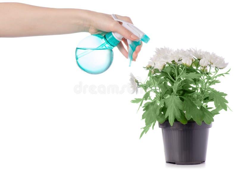 De bloemspuitbus van de chrysanteninstallatie ter beschikking stock foto's
