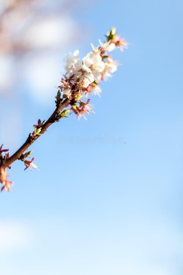 De bloesem minimalistic achtergrond van de de lenteappel over blauwe hemel royalty-vrije stock afbeelding