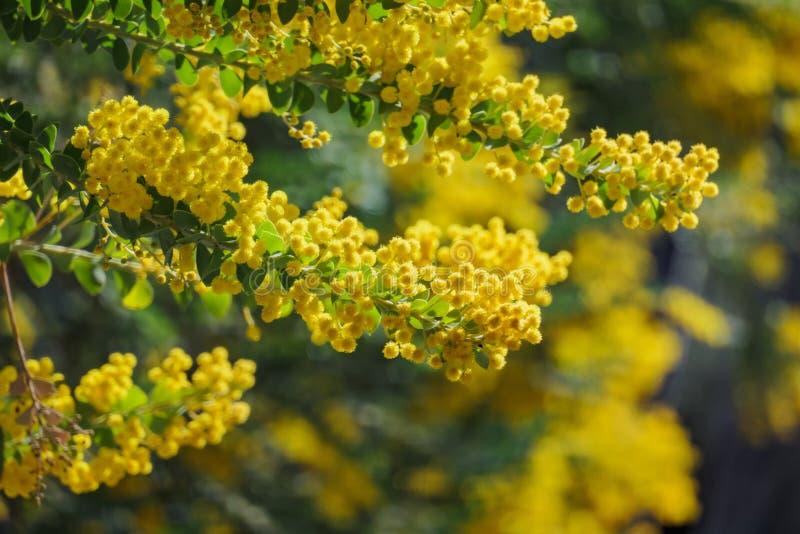De bloesem mooie van Acaciachinchillensis (chinchillaacacia) stock foto's