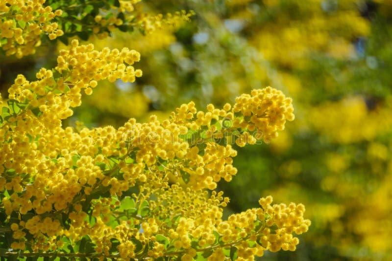 De bloesem mooie van Acaciachinchillensis (chinchillaacacia) royalty-vrije stock fotografie