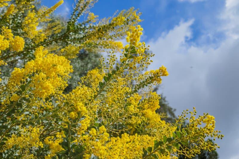 De bloesem mooie van Acaciachinchillensis (chinchillaacacia) royalty-vrije stock afbeeldingen