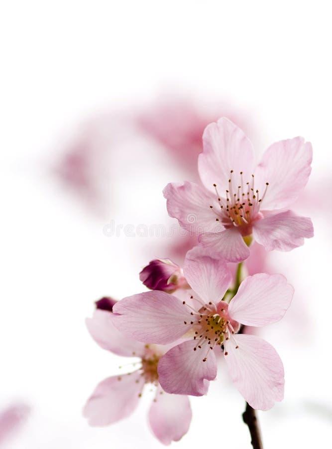 De bloesem Sakura van de kers royalty-vrije stock fotografie