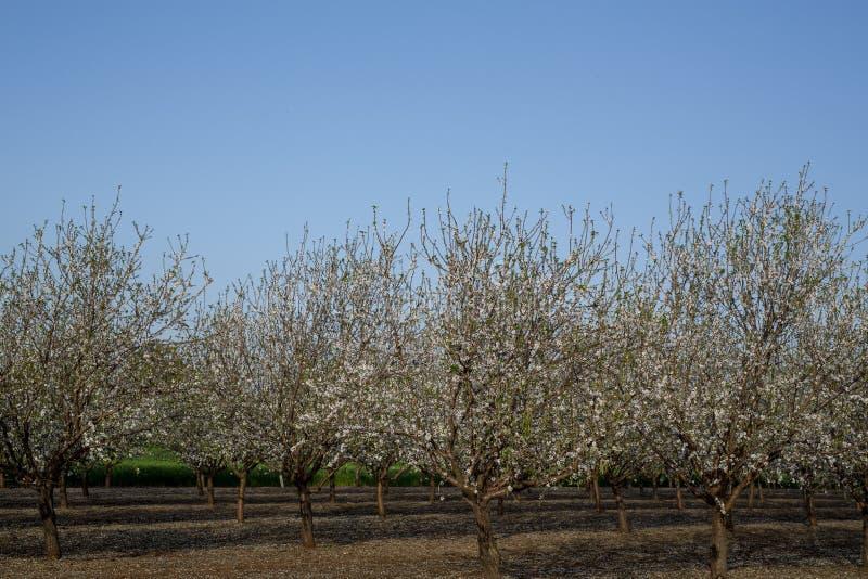 De bloesem van de amandelboom in de lentetijd van Februari en maart Amandelen voor de voedselindustrie Amandelen en marsepein stock afbeelding