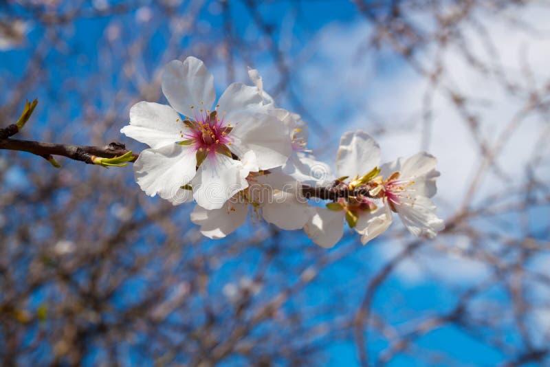 De bloesem van de amandelboom met wit bloemenclose-up stock fotografie