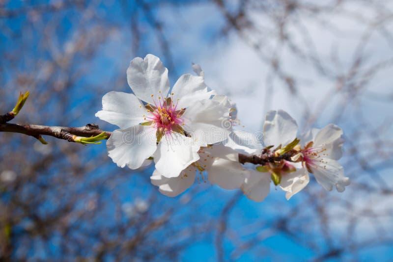 De bloesem van de amandelboom met wit bloemenclose-up royalty-vrije stock afbeeldingen