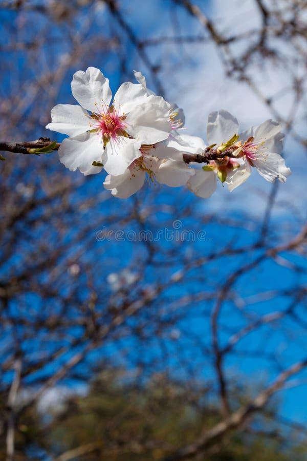 De bloesem van de amandelboom met wit bloemenclose-up royalty-vrije stock afbeelding