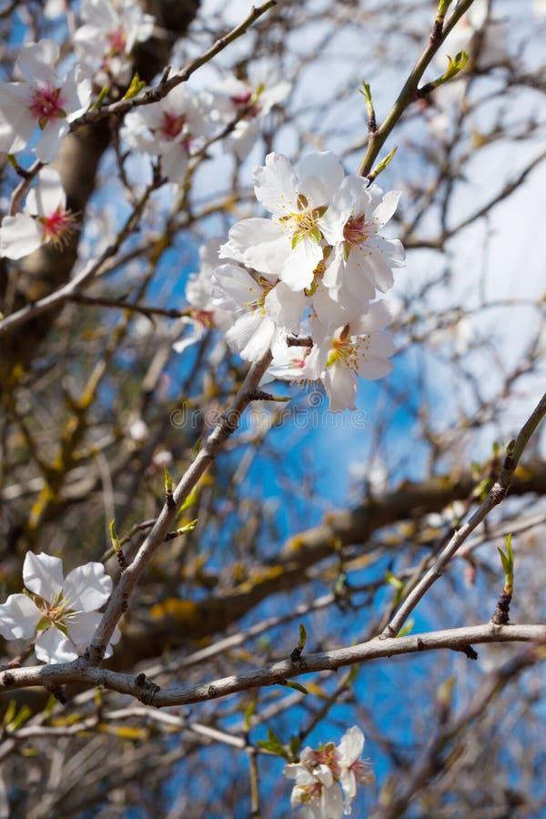 De bloesem van de amandelboom met wit bloemenclose-up stock foto