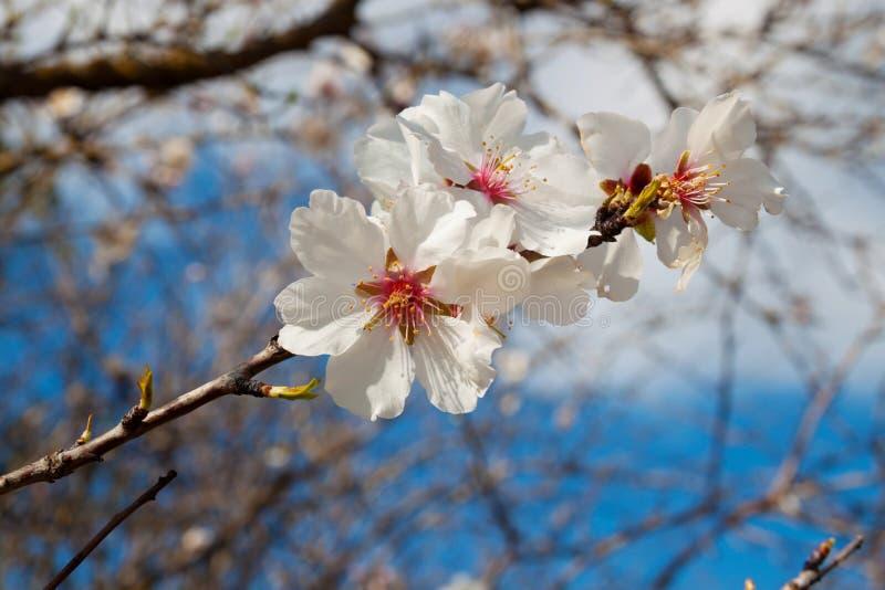 De bloesem van de amandelboom met wit bloemenclose-up royalty-vrije stock fotografie