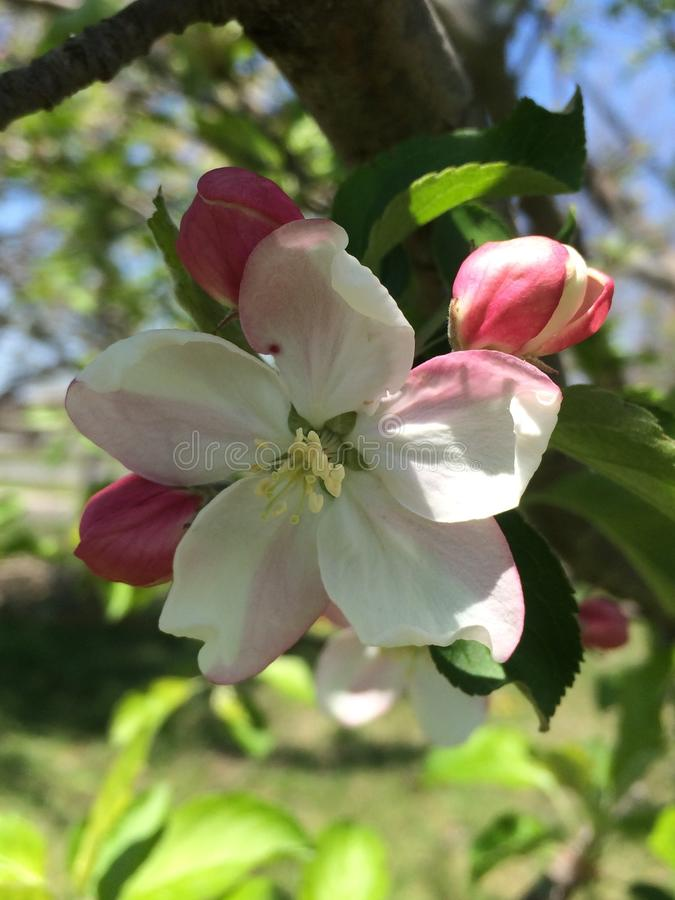 Download De Bloesem van de appel stock foto. Afbeelding bestaande uit spring - 107707544