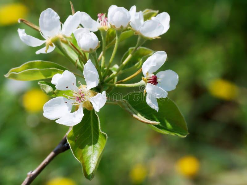 De bloesem van de appel stock foto's