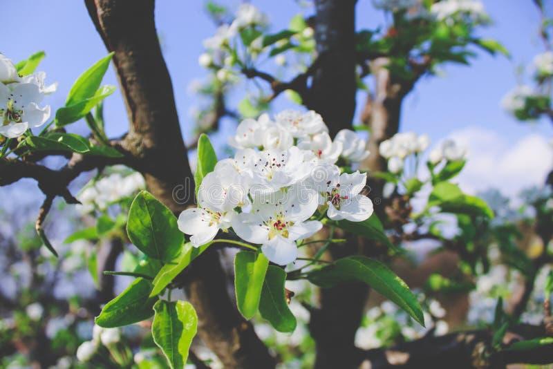 De Bloesem van de appel stock fotografie