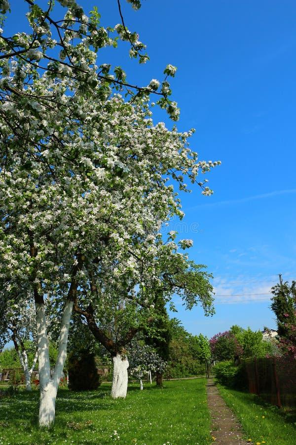 De Bloesem van de Bomen van de appel in de Lente stock fotografie