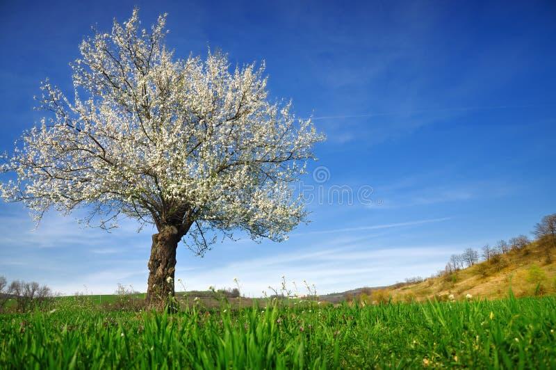 De bloesem van de boom royalty-vrije stock afbeeldingen