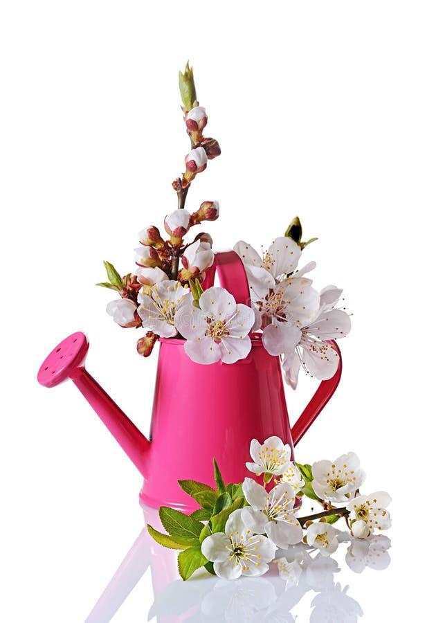 De bloesem van de de lentekers vertakt zich met witte bloemen, knoppen en groene bladeren in roze gieter stock fotografie
