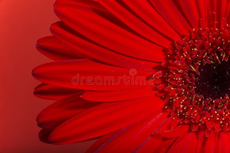De bloesem van de Gerberabloem stock afbeeldingen