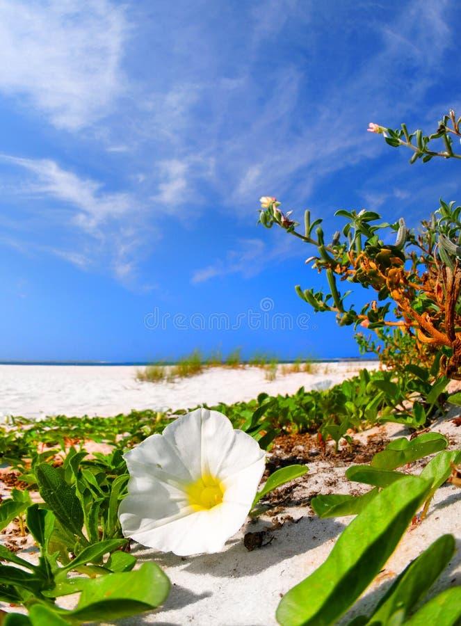 De Bloesem van de Glorie van de ochtend op Strand stock foto's