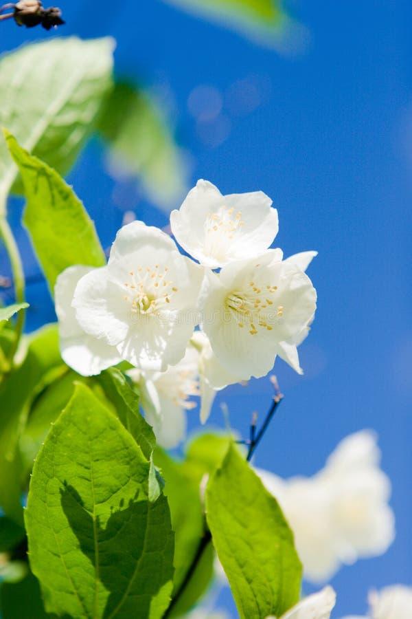 De bloesem van de jasmijn stock foto