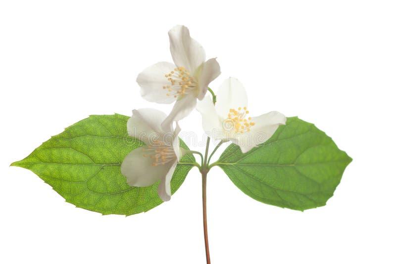 De bloesem van de jasmijn royalty-vrije stock foto's