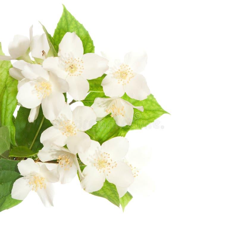 De bloesem van de jasmijn royalty-vrije stock foto