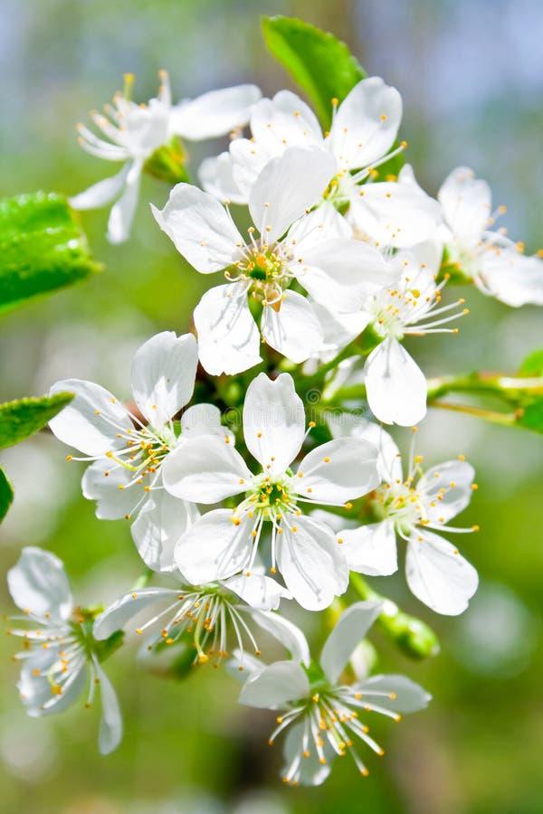 De bloesem van de kers in de lente stock foto