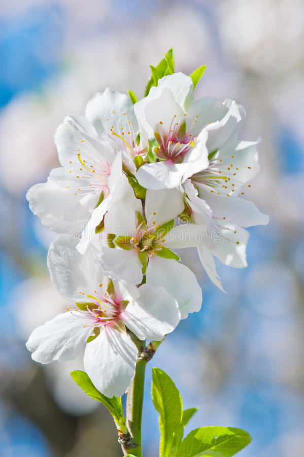 De Bloesem van de lente royalty-vrije stock afbeeldingen
