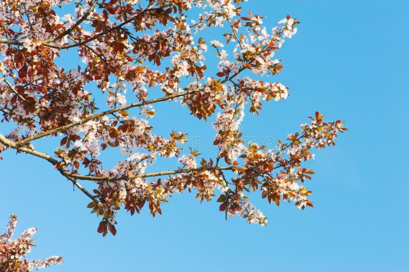 De Bloesem van de lente stock foto