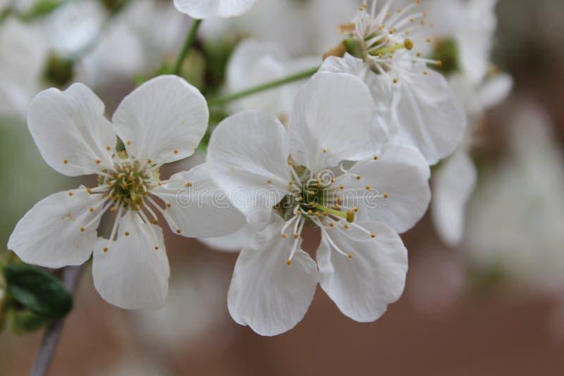 De Bloesem van de lenteapple royalty-vrije stock afbeeldingen