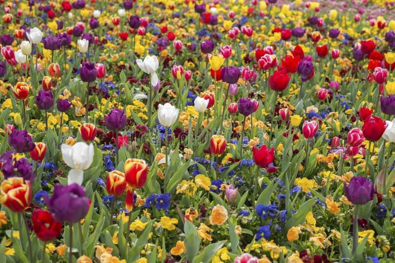 De bloesem van de tulpenbloem royalty-vrije stock fotografie