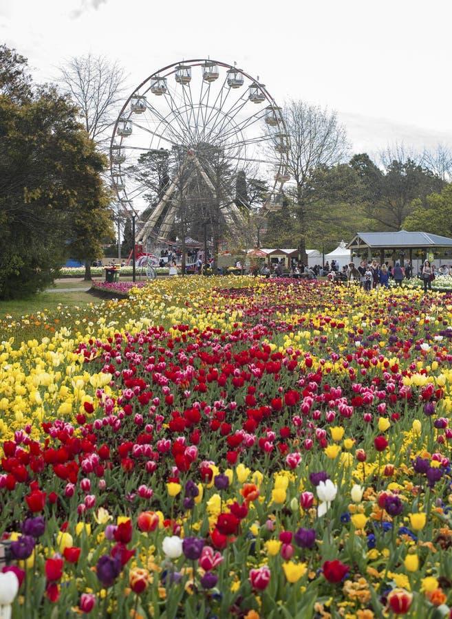 De bloesem van de tulpenbloem stock foto's