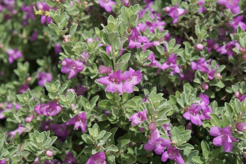 De bloesem van Eremophilanivea stock afbeeldingen