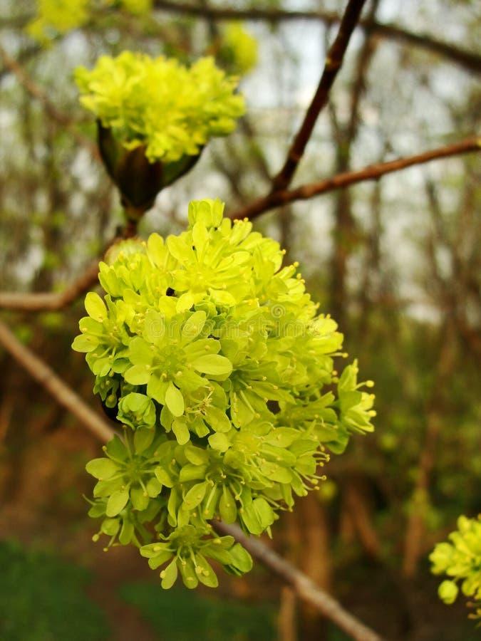 De bloesem van de esdoornboom royalty-vrije stock foto