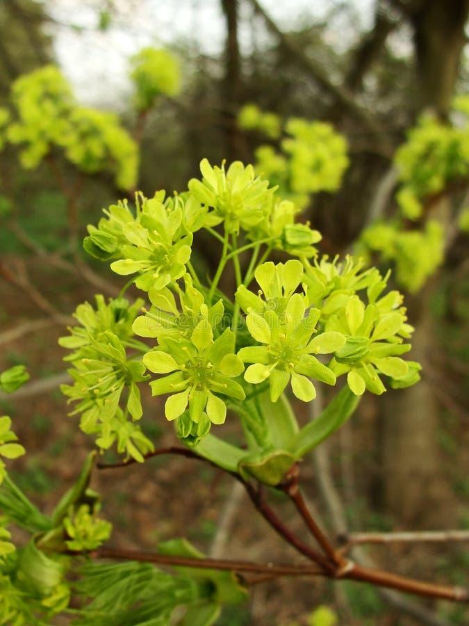De bloesem van de esdoornboom royalty-vrije stock afbeeldingen