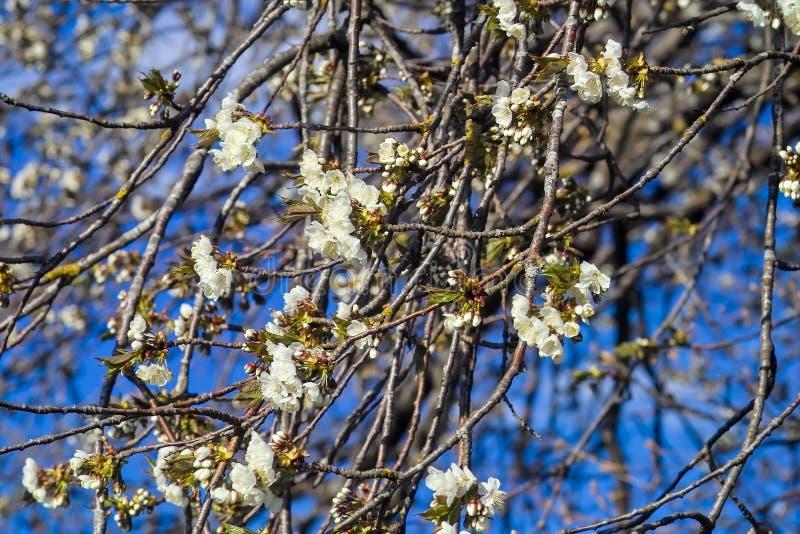 De bloesem van de fruitboom: de bloesems van de zure kersenprunus cerasus in de lente, kersenboom in bloei stock afbeelding