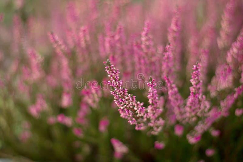 De bloesem van heidebloemen Calluna vulgaris bloemen stock foto's