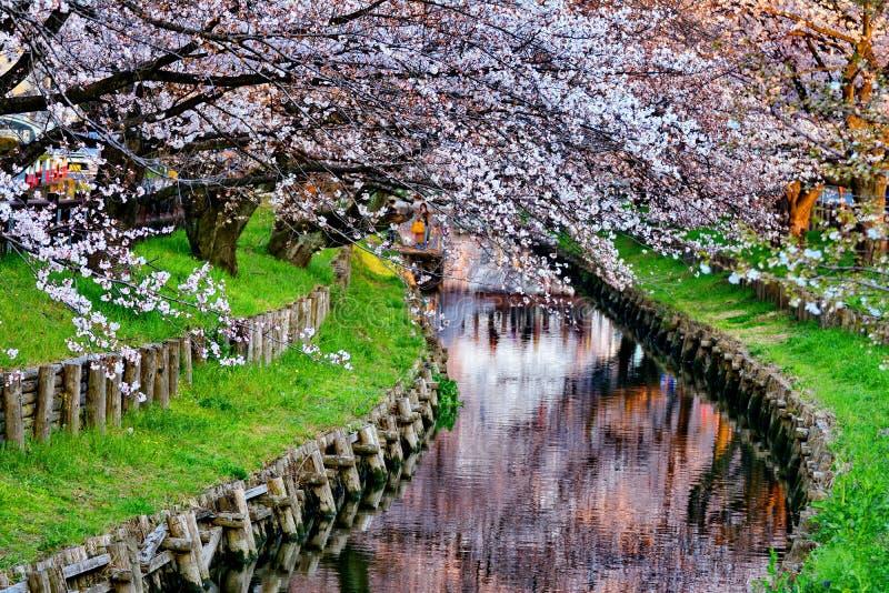 De Bloesem van de kers in Japan stock foto